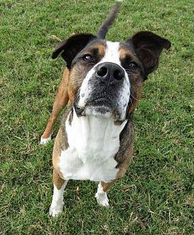 Boxer/Labrador Retriever Mix Dog for adoption in Sarasota, Florida - Marcus