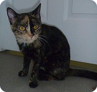 Domestic Shorthair Cat for adoption in Hamburg, New York - Sheera