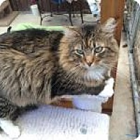 Domestic Longhair Cat for adoption in Quilcene, Washington - Max