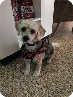 Havanese Mix Dog for adoption in Thousand Oaks, California - Noodles