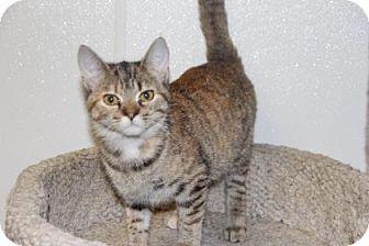 Domestic Shorthair Cat for adoption in Greensboro, North Carolina - Shania
