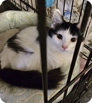 Domestic Longhair Cat for adoption in Byron Center, Michigan - Lindsey