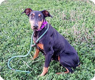 Doberman Pinscher Dog for adoption in New Richmond, Ohio - Zora