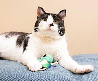 Domestic Shorthair Cat for adoption in Chicago, Illinois - Stuart Little