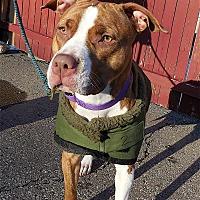 Adopt A Pet :: Beauty - Carmel, NY