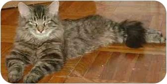 Domestic Mediumhair Kitten for adoption in Etobicoke, Ontario - Sammy