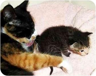 Domestic Shorthair Kitten for adoption in Spencer, New York - Sunny - October 1