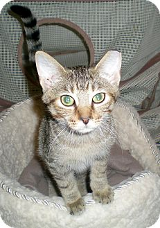 Domestic Shorthair Cat for adoption in Troy, Michigan - Ballou