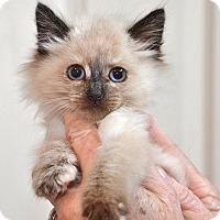 Adopt A Pet :: Clair Bear - Davis, CA