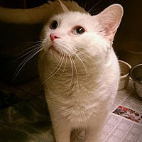 Adopt A Pet :: Snowdrop - Beacon, NY