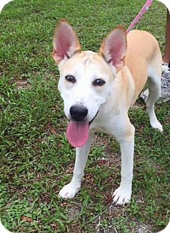 Siberian Husky/German Shepherd Dog Mix Puppy for adoption in Clearwater, Florida - Maddie