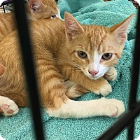 Domestic Shorthair Kitten for adoption in Clarksville, Tennessee - Eustace