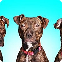 American Pit Bull Terrier Mix Puppy for adoption in Chicago, Illinois - Sage 3