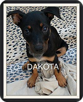 Rottweiler/Blue Heeler Mix Puppy for adoption in Tempe, Arizona - Dakota