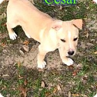 Labrador Retriever/American Staffordshire Terrier Mix Dog for adoption in Pensacola, Florida - Cesar