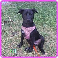 Adopt A Pet :: Jill - Hollywood, FL