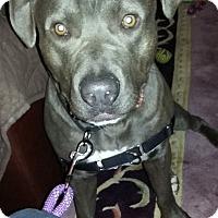 Adopt A Pet :: Zeus - Grand Rapids, MI