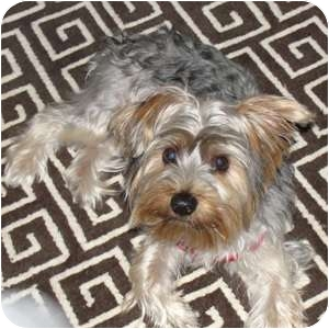 Yorkie, Yorkshire Terrier Puppy for adoption in Canton, Illinois - Jagere