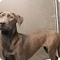 Labrador Retriever/Dachshund Mix Puppy for adoption in Pflugerville, Texas - Lelia