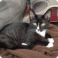 Adopt A Pet :: Robinson Rousseau - Chicago, IL