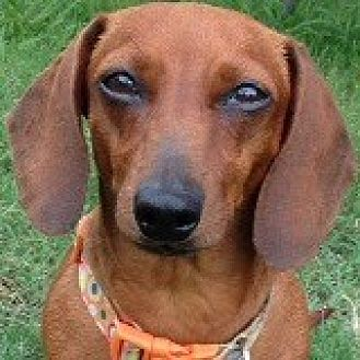 Dachshund Dog for adoption in Houston, Texas - Prissy Pinklady
