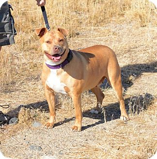 Pit Bull Terrier Mix Dog for adoption in Gardnerville, Nevada - Chewie