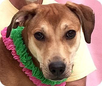 Mountain Cur Mix Dog for adoption in Evansville, Indiana - Ivy