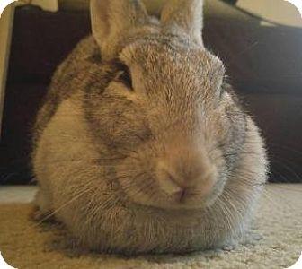 Chinchilla, Standard Mix for adoption in Woburn, Massachusetts - Audrey Hepbun