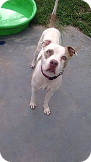 American Bulldog Mix Dog for adoption in Port Charlotte, Florida - Norris