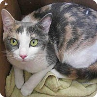 Domestic Mediumhair Cat for adoption in San Antonio, Texas - EVA