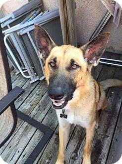 German Shepherd Dog/Belgian Malinois Mix Dog for adoption in Broken Arrow, Oklahoma - Max