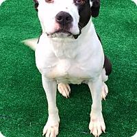 Adopt A Pet :: Honu - Seattle, WA