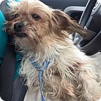 Adopt A Pet :: Phoebe - Newport, KY
