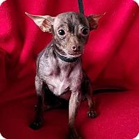 Adopt A Pet :: Pop Tart - San Antonio, TX