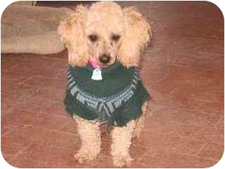Poodle (Toy or Tea Cup) Dog for adoption in Albuquerque, New Mexico - Pelusa