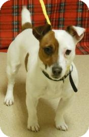 Jack Russell Terrier Mix Puppy for adoption in Gary, Indiana - Mary