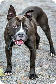 American Staffordshire Terrier Mix Dog for adoption in Tinton Falls, New Jersey - Bryon