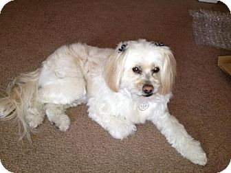 Cockapoo/Lhasa Apso Mix Dog for adoption in Las Vegas, Nevada - Amee