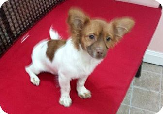 Pomeranian/Chihuahua Mix Puppy for adoption in Naples, Florida - Maxwell