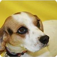 Adopt A Pet :: Kiera - Broomfield, CO