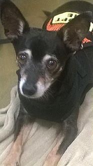 Chihuahua Mix Dog for adoption in Tucson, Arizona - Jetson