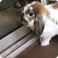 Adopt A Pet :: Mochi - Williston, FL