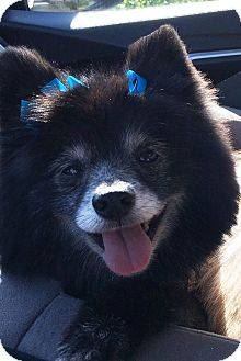 Pomeranian Dog for adoption in Norman, Oklahoma - Maggie Mae