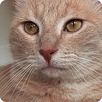 Domestic Shorthair Cat for adoption in St. Louis, Missouri - Jared