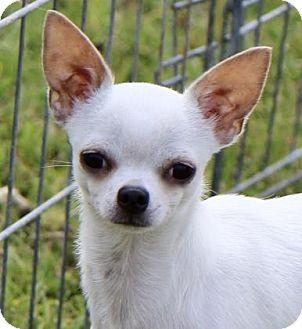 Chihuahua Dog for adoption in Picayune, Mississippi - COURTESY POST - Jasper