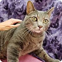 Adopt A Pet :: Bella Luna - Lombard, IL