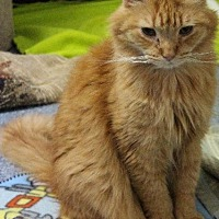 Adopt A Pet :: Rambo - Fremont, OH