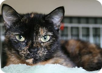 Domestic Shorthair Cat for adoption in Frederick, Maryland - Reese