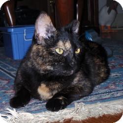 American Shorthair Cat for adoption in Loudonville, New York - Carol