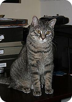 Domestic Shorthair Cat for adoption in Cambridge, Ontario - Kali